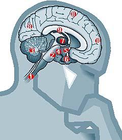 cerebro17.jpg