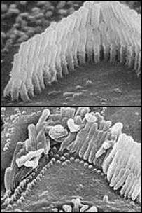 oidocelulas.jpg