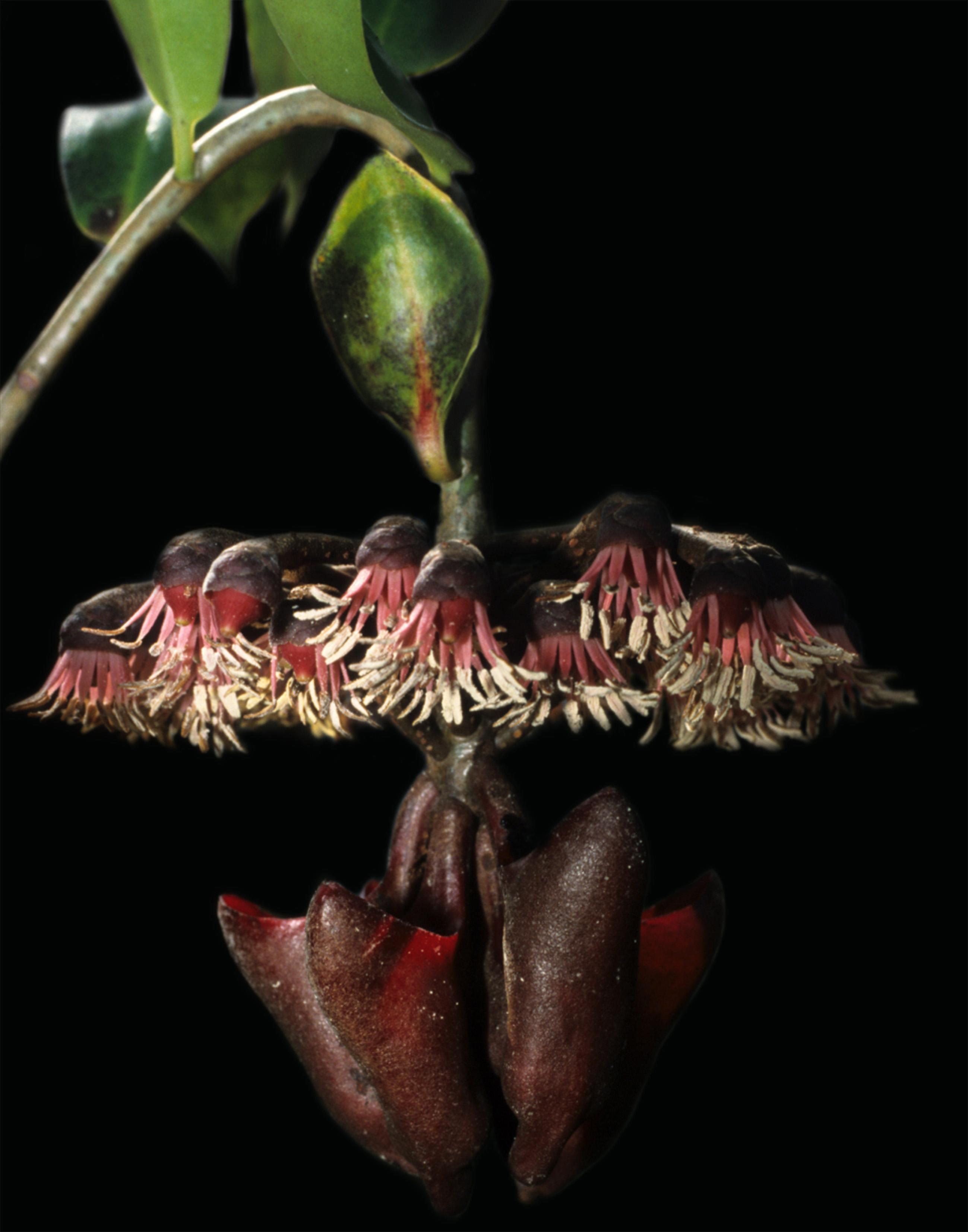 planta-murcielago